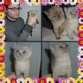 Josee kittens collage